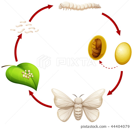 Life cycle of a silkworm 44404079