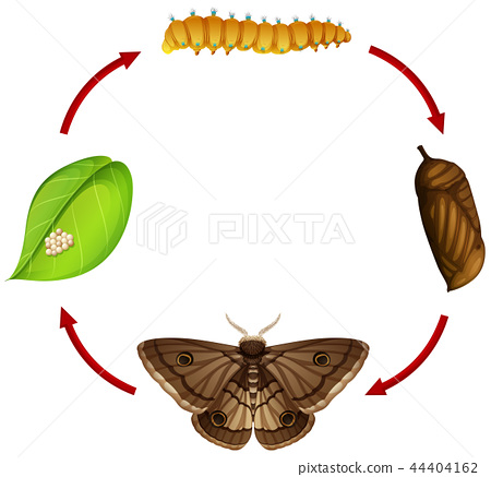 Moth life cycle concept 44404162