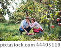 A senior couple picking apples in orchard in autumn, having fun. 44405119