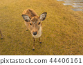 逗人喜爱的鹿和美丽的秋叶,奈良,日本 44406161