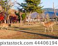逗人喜爱的鹿和美丽的秋叶,奈良,日本 44406194