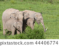 Asian elephants is eating solid in Thailand forest 44406774