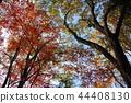 ฤดูใบไม้ร่วง,ป่า,ต้นเมเปิล 44408130