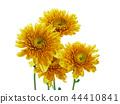 Beautiful chrysanthemum flower isolated on white b 44410841