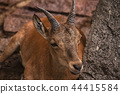 Cute brown goat 44415584