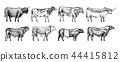 Farm cattle bulls and cows. Different breeds of domestic animals. Engraved hand drawn monochrome 44415812