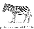 African Zebra Wild animal on white background. striped black white horse. Engraved hand drawn 44415834