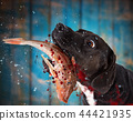 Black dog eating raw fish. 44421935