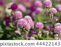ดอกไม้,ฤดูใบไม้ร่วง,โคลเวอร์ 44422143