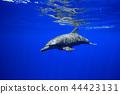 보닌부루 바다 수영 남방 큰 돌고래 44423131