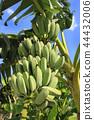 香蕉 44432006