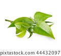 Green tea leaf isolated on white background 44432097