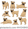 Flat vector set of pug puppy in different poses. Cute dog with short beige coat, wrinkled muzzle and 44434840