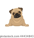 Portrait of lying pug puppy, front view. Small dog with beige coat, adorable wrinkled muzzle and 44434843