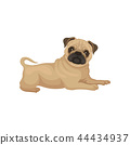 pug animal dog 44434937