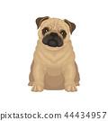 pug dog animal 44434957