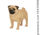 Flat vector portrait of standing pug puppy. Home pet. Small domestic dog with cute wrinkled face and 44434968