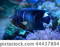 Emperor Angelfish 44437894