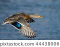 duck, avian, bird 44438006