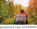 Old tractor with trailer in the apple  orchard 44438694