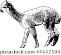 alpaca sketch illustration 44442504