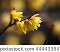 납매, 꽃봉오리, 꽃잎 44443304