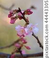 벚나무, 벚꽃, 봄 44443305