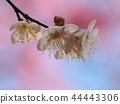 매화, 매화꽃, 매화 정원 44443306