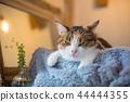 졸린 삼색 털 고양이 씨의 이상한 얼굴과 귀여운 포즈 44444355