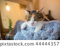 졸린 삼색 털 고양이 씨의 이상한 얼굴과 귀여운 포즈 44444357