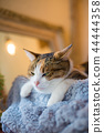 졸린 삼색 털 고양이 씨의 이상한 얼굴과 귀여운 포즈 44444358