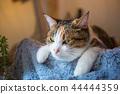 졸린 삼색 털 고양이 씨의 이상한 얼굴과 귀여운 포즈 44444359