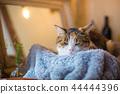 졸린 미케 고양이 씨의 이상한 얼굴 44444396