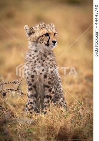 Cheetah cub sitting in grass by thorns 44445740