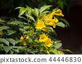 Close up of Yellow flower, Yellow elder 44446830
