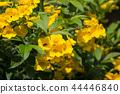 Close up of Yellow flower, Yellow elder 44446840