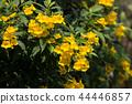 Close up of Yellow flower, Yellow elder 44446857