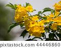 Close up of Yellow flower, Yellow elder 44446860