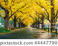 Row of yellow ginkgo tree in autumn. 44447790