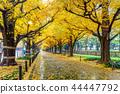 Row of yellow ginkgo tree in autumn.  44447792