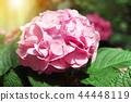 Beautiful hydrangea flowers blooming in the garden 44448119