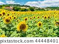 Beautiful sunflowers in a field in central France 44448401