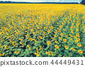 Beautiful sunflower field, aerial view 44449431