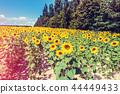 Beautiful sunflower field 44449433