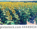 Beautiful sunflower field 44449434
