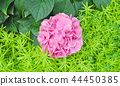 Pink hydrangea flower on leaves background 44450385