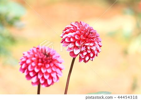 Two Dahlia Dahlia Flowers Like Artificial Flowers Stock Photo