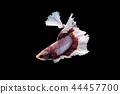 Swimming Action of Betta, Siamese fighting fish 44457700