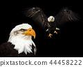 Portrait of a bald eagle (haliaeetus leucocephalus) 44458222
