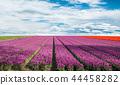 Blossoming tulip fields in a dutch landscape. 44458282